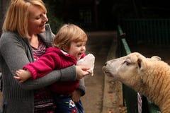 哺养的绵羊 免版税图库摄影