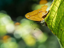 哺养的蝴蝶 库存照片