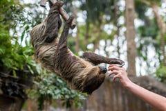 哺养的bradypus 图库摄影
