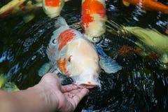 哺养的koi用手 免版税库存照片