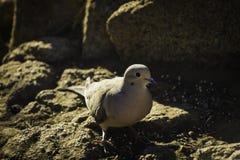 哺养的Turtledove 免版税库存照片