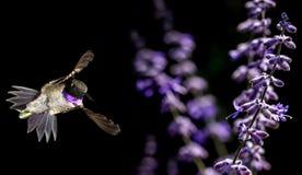 哺养从美丽的淡紫色花的蜂鸟 免版税图库摄影