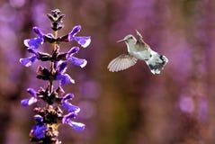 哺养从美丽的淡紫色花的蜂鸟 免版税库存图片