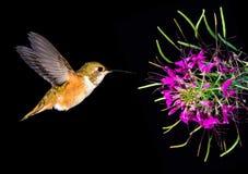 哺养从美丽的热带花的红褐色蜂鸟 库存照片