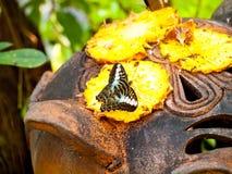 哺养菠萝的甜花蜜蝴蝶 免版税库存照片