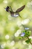 哺养从蓝色花的蜂鸟的垂直的图象 免版税库存照片