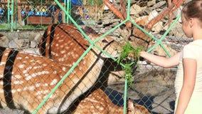 哺养被察觉的鹿的家庭女孩。 股票视频