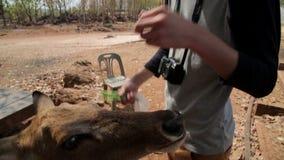 哺养bambi用手,老虎寺庙,曼谷,泰国 股票视频