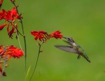 哼唱着红宝石红喉刺莺的鸟 免版税库存图片