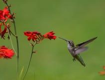 哼唱着红宝石红喉刺莺的鸟 库存照片