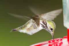 哼唱着鸟哺养 免版税库存图片