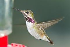 哼唱着鸟哺养 库存照片