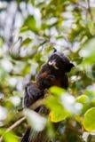 嘴唇发白绢毛猴,猴子 免版税图库摄影