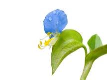 唇形1朵的花 库存图片