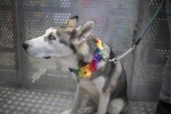 唐卡斯特自豪感8月19日2017 LGBT节日,与rainbo的多壳的狗 库存照片