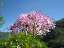 唐松草属植物aquilegiifolium 库存照片