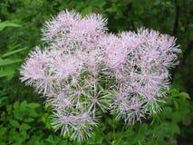 唐松草属植物aquilegiifolium 库存图片
