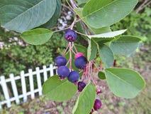 唐棣属成熟的棠棣属莓果  一束在分支的莓果 免版税库存照片