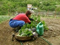 唐莴苣新鲜的被选的农村瑞士妇女 库存图片