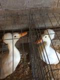 唐Ducks国王 库存图片