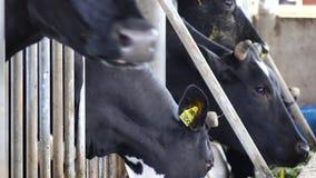 唐Duong区的,大叻市市,林同省,越南奶牛农场 股票录像