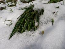 唤醒早期的春天的草 免版税库存照片