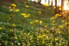 唤醒绿色植物的春天在日落背景的森林里 库存图片