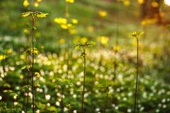 唤醒绿色植物的春天在日落背景的森林里 免版税库存照片