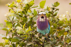 唧啾叫的五颜六色的热带鸟 库存图片