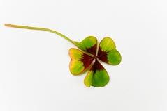 唯一三叶草四好叶子的运气 免版税库存图片