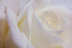 唯一与露滴的软性玫瑰色花关闭  免版税库存照片