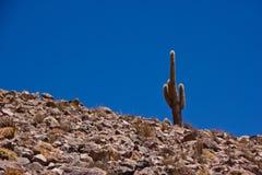 唯一仙人掌在阿塔卡马高原/智利 库存照片