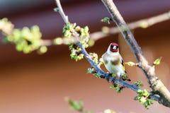 唯一公金翅雀在春天樱桃树分支栖息 图库摄影