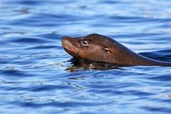 唯一加利福尼亚海狮游泳在海洋 免版税库存照片