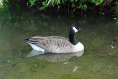 唯一加拿大鹅和反映在池塘 图库摄影