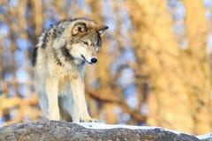 唯一北美灰狼有金黄背景 库存照片