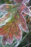 唯一叶子的橡木 免版税库存照片