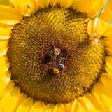 唯一向日葵开花 库存图片