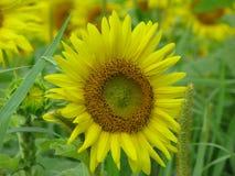 唯一向日葵黄色 免版税图库摄影