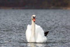 唯一在被隔绝的湖游泳的天鹅画象正面图 库存图片