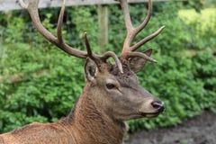 唯一好的鹿在动物园公园 库存图片