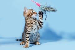 唯一嬉戏的褐色被察觉的孟加拉小猫 免版税库存照片