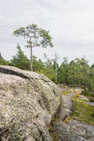 唯一小杉树在峭壁增长 库存照片