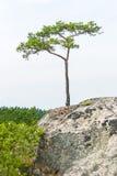 唯一小杉树在峭壁增长 库存图片