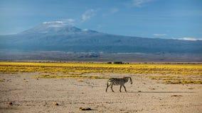 唯一平原斑马马属拟斑马,以前马属burchellii 免版税库存照片