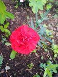 唯一开花的康乃馨 免版税图库摄影
