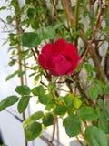 唯一开花的罗斯 免版税库存图片