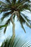 唯一弯曲的棕榈树的树干 库存照片