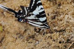 唯一斑马swallowtail 免版税图库摄影