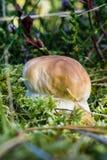 唯一新鲜的等概率圆蘑菇从青苔增长 库存图片